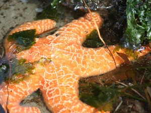 Starfish in Olympic National Park
