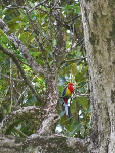 Eastern Rosella in Cornwall Park